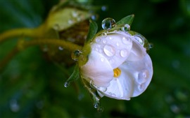 Un gros plan de fleur rose clair, gouttelettes d'eau, rosée