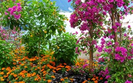 Pink bougainvillea, beautiful flowers, garden