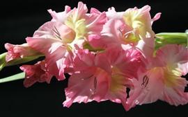 Розовый гладиолус, черный фон