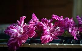 Цветы розовые гладиолусы