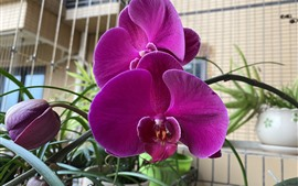 Preview wallpaper Pink phalaenopsis bloom, spring