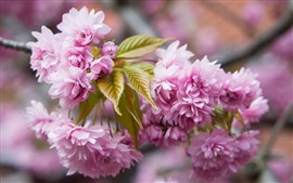 Preview wallpaper Pink sakura blossom, twigs, spring, beautiful flowers