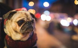 Preview wallpaper Pug dog, bright circles