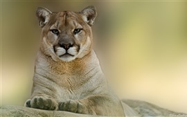 Preview wallpaper Puma front view, wildlife