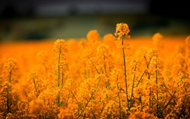 Flores de colza, doradas, primavera