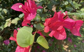 Preview wallpaper Red bougainvillea, flowers, petals, sunshine