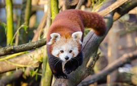 Preview wallpaper Red panda walk to you, front view
