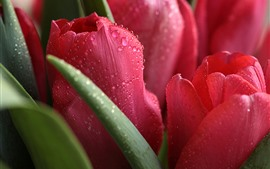 Preview wallpaper Red tulips close-up, water droplets
