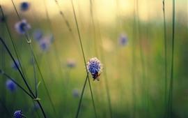 Verão, grama, flores roxas, abelha