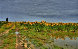 Preview wallpaper Sunflowers field, water, summer, clouds