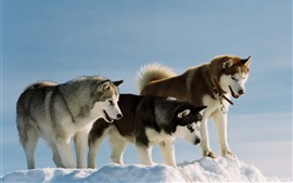 Three dogs, husky, snow