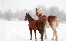 Two horses in winter, snow, back view