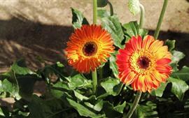 Два оранжевых цветка герберы, лепестки