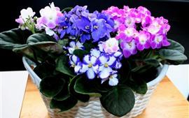 Фиалки, разноцветные цветы, розовые и фиолетовые