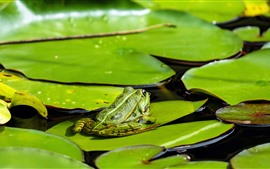 Water lily leaves, frog, pond