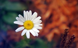 Aperçu fond d'écran Marguerite blanche, pétales, brumeux