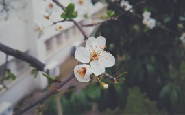 White peach flowers, petals, twigs, spring