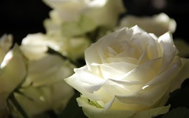 Preview wallpaper White rose close-up, petals, light