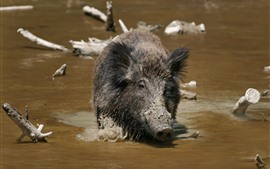 Preview wallpaper Wildlife, boar, dirty water