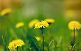 Preview wallpaper Yellow dandelions flowers macro photography, spring