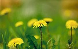 Жёлтые одуванчики цветы макро фотография, весна