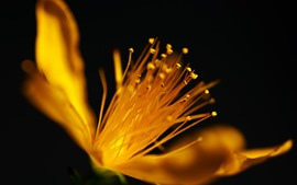 Preview wallpaper Yellow flower macro photography, pistil, black background