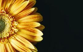 Yellow sunflower, petals, black background