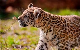 Lindo cachorro de jaguar, caminar