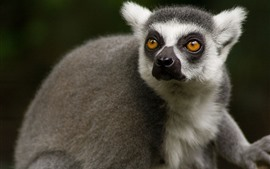 Cute lemur, face, look back, eyes