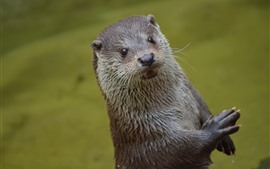 Cute otter, look