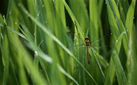 Dragonfly, green grass, insect