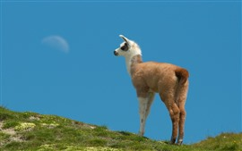 Preview wallpaper Grass, sky, llama