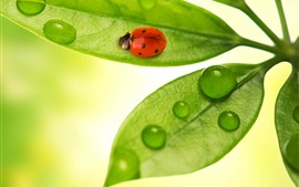 Preview wallpaper Green leaves, ladybug, water droplets