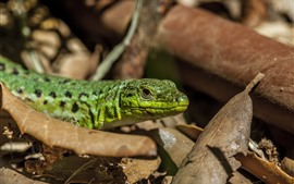 Green lizard, leaf, ground