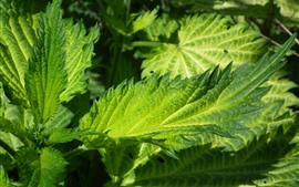 Green nettle leaves close-up, plants