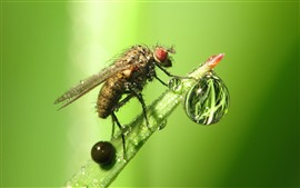 Insect, fly, water droplets