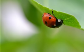 Preview wallpaper Ladybug, green leaf, insect, hazy