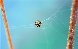 Preview wallpaper Ladybug, web, insect