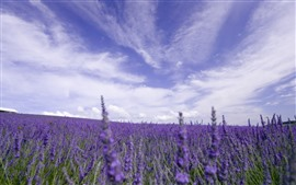 Preview wallpaper Lavender field, purple flowers, sky, clouds