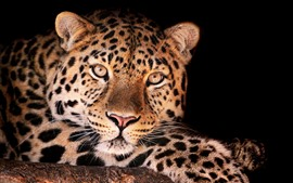 Preview wallpaper Leopard, face, front view, black background