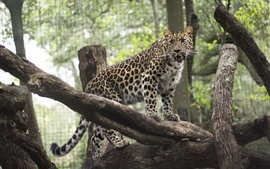 Preview wallpaper Leopard, zoo, wood