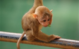 Preview wallpaper Little monkey, cute animal