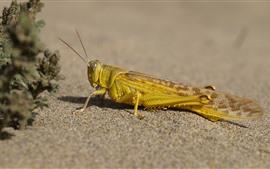 Locust, insect