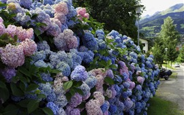 Many hydrangea, colorful flowers, village