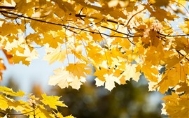 Preview wallpaper Many yellow maple leaves, twigs, golden autumn