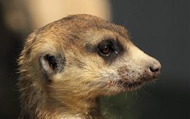 Meerkat, head, mouth, eye