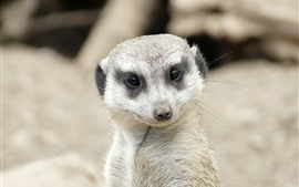 Preview wallpaper Meerkat look at you, face, eyes