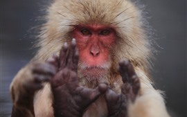 Preview wallpaper Monkey, look, face, hands