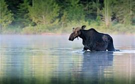 Alces a pé no rio