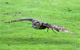 Preview wallpaper Owl flight, wings, green grass
